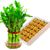 Gift Delivery Bangalore to send Lucky Bamboo Plant with 500 gm Motichoor Ladoo